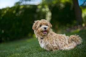 Dieses Bild zeigt ein Maltipo. Ein Alergiker Hund