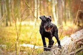 Dieses Bild zeigt ein Schnauzer super für eine Allergie gegen Hunde