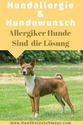 Dieses Foto zeigt ein Basenji ein Hunde für Allergiker