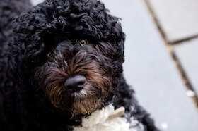 Dieses Foto zeigt einen Portugiesischen Wasserhund, diese einer Hypoallergene Hunderasse angehört
