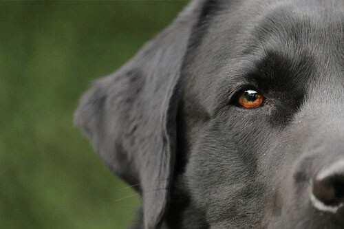 Ohren reinigen beim Hund