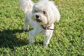 Dies ist ein Foto von der Hunderasse Bichon Frise Hunde für Allergiker