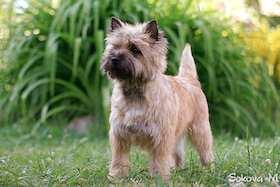Dieses Foto zeigt ein Cairn Terrier. Top für menschen mit einer Hundehaarallergie