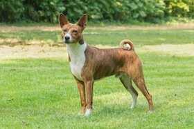 Dies ist ein Foto von einem Basenji Hund für Allergiker