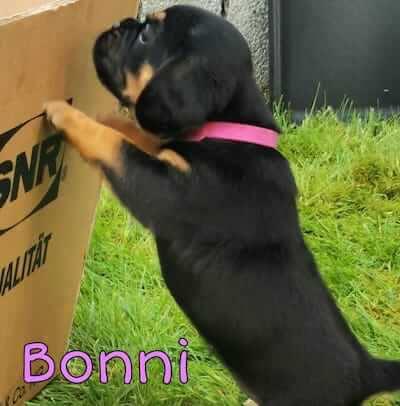 Dies ist ein Bild von Bonni einen Puggle Welpen aus Scheswig-Holstein