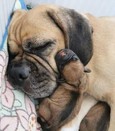Dies ist ein Bild von Puggle Hund der Welpen zu verkaufen hat